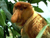Endangered Proboscis Monkey